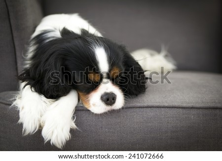 cute dog sleeping on the sofa - stock photo