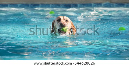 Cute dog swimming in large pool with yellow tennis ball in his mouth