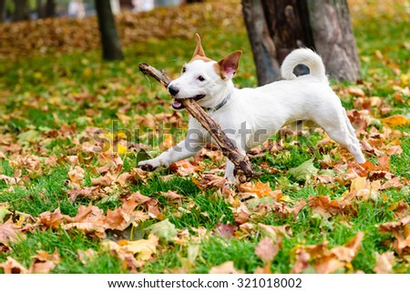 Cute dog with stick playing at autumn park - stock photo