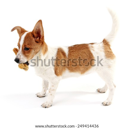 Cute dog with  with rawhide bone isolated on white background - stock photo
