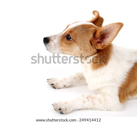 Cute dog with  with rawhide bone on red ribbon isolated on white background - stock photo