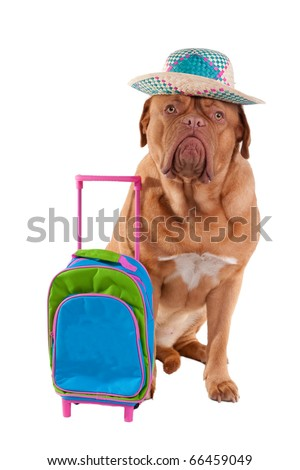 Cute dogue de bordeaux is ready to go on summer holiday - stock photo