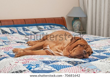 Cute Dogue De Bordeaux puppy lying on the bed with handmade patchwork quilt - stock photo