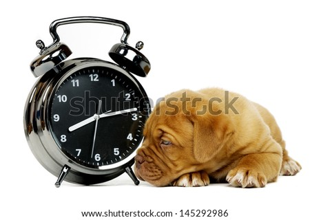 Cute dogue de boudeux puppy laid next to an alarm clock isolated on a white background