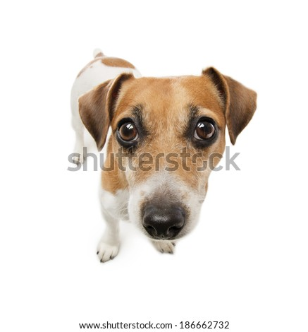 Cute dogwith big nose looking with suspicion excitement. White background. Studio shot