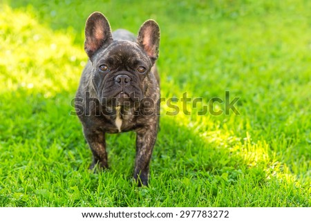 Cute Domestic dog brindle French Bulldog breed standing front view on the grass. Focus on the dog muzzle, shallow depth of field - stock photo