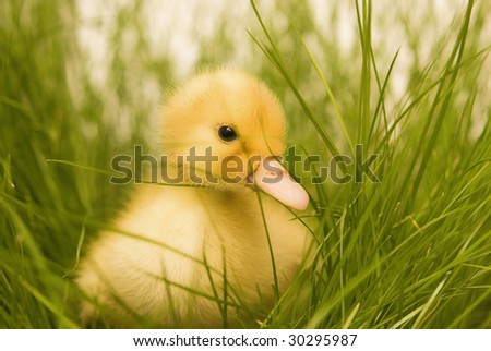 cute duckling in green grass - stock photo