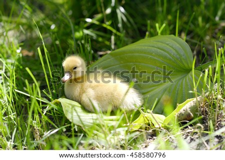 Cute duckling in the grass.Green juicy grass under summer sun. Sunny day. The good summer weather.