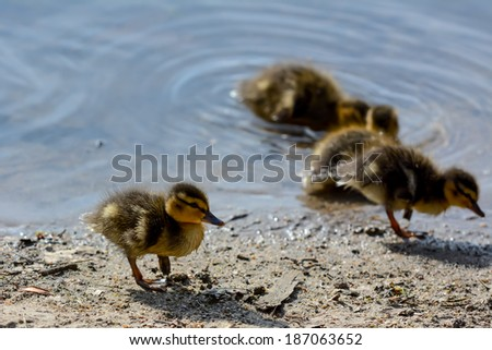 Cute ducklings at water edge