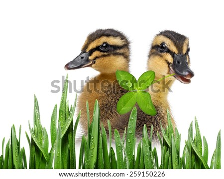 cute ducklings ( indian runner duck) isolated on a white background - stock photo