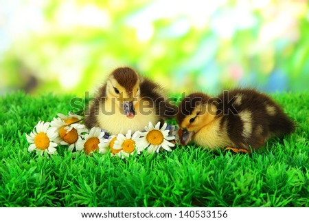 Cute ducklings on green grass, on bright background - stock photo