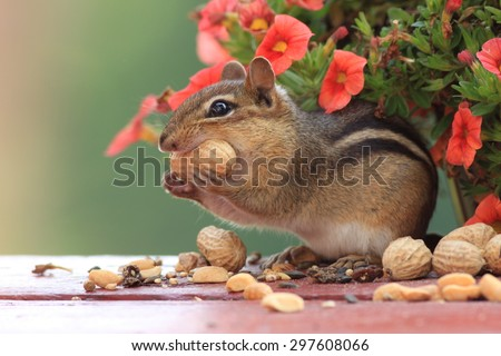 Cute Eastern Chipmunk with peanut in mouth standing up in front of red orange miniature petunia flowers - stock photo