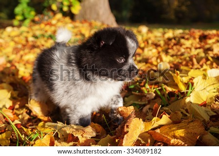 cute Elo puppy playing in autumn leaves