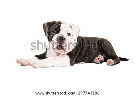 Cute english bulldog lying down isolated on a white background - stock photo