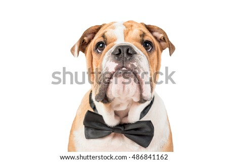 Cute English bulldog pup isolated on white background