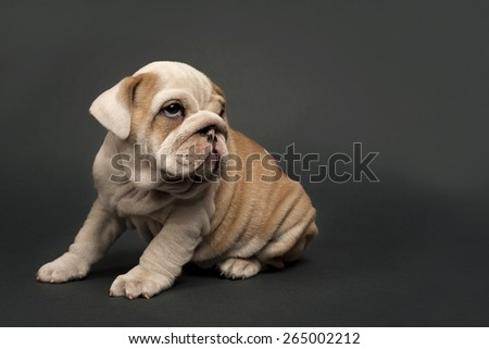 Cute English  bulldog puppy on gray background. - stock photo