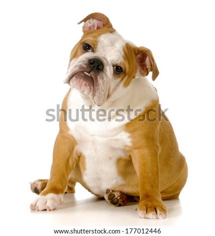 cute english bulldog puppy with head tilted to the sided isolated onwhite background - stock photo