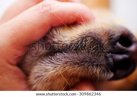 Cute English Cocker Spaniel puppy in front of a white background closeup to hand holding dogs mouth and nose - stock photo