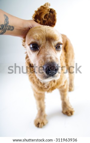 Cute English Cocker Spaniel puppy looking scared and hand petting it in front of a white background. - stock photo