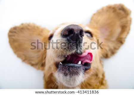 Cute English Cocker Spaniel puppy with tongue out and perky ears in front of a white background - stock photo