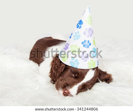 Cute English Springer Spaniel puppy wearing a birthday party hat napping on a fur rug - stock photo
