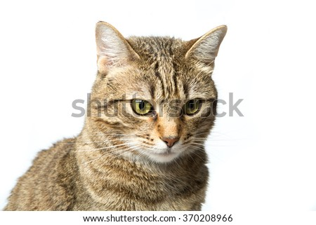 Cute European kitten isolated on white background , animal portrait