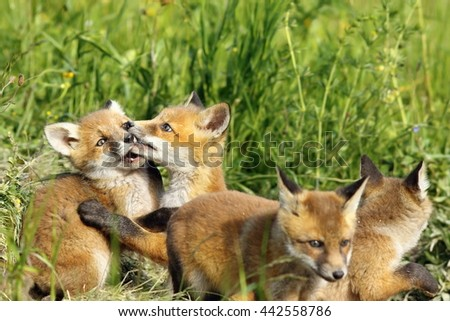 cute european red fox cub playing near the burrow, image of wild animals ( Vulpes vulpes )