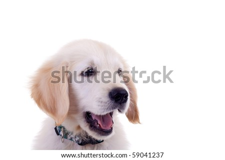 cute face of a little golden labrador retriever over white