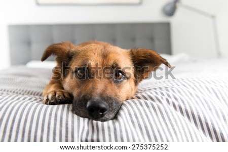 Cute Fawn Colored Corgi Mix on Bed - stock photo