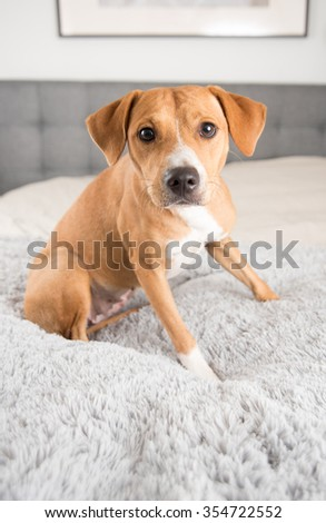 Cute Fawn Terrier Mix Dog Playing on Human Bed - stock photo