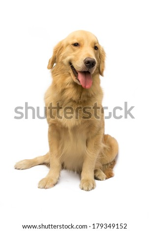 cute female golden retriever looking at camera isolated in white background with clipping path