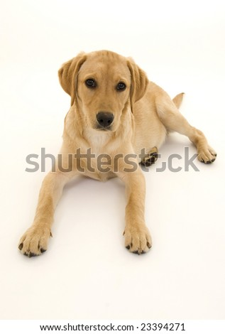 Cute Female Labrador Pup