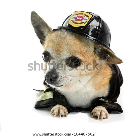Cute Firefighter Chihuahau on white background