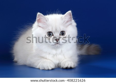 Cute fluffy kitten on a blue background - stock photo