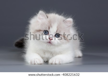 Cute fluffy kitten on a gray background - stock photo