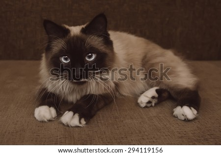 Cute fluffy Siamese cat with blue eyes lying on sofa indoor - stock photo