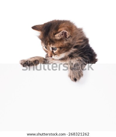 Cute fluffy siberian kitten with empty blank billboard over white background - stock photo