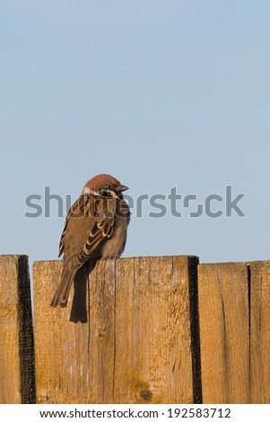 cute fluffy sparrow on old painted wooden fence  - stock photo
