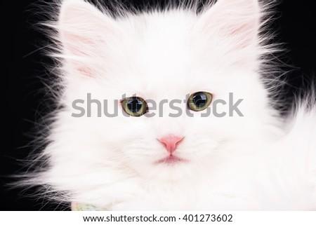 Cute fluffy white kitten over black background - stock photo