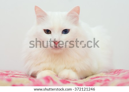 Cute fluffy white Turkish Angora with colored eyes lying on the bed and looks forward