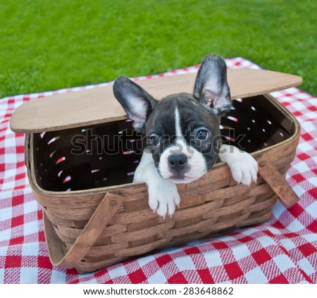 Cute French Bulldog peeking his cute little head out of a picnic basket. - stock photo