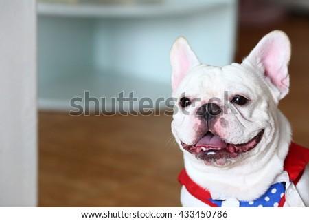 Cute French Bulldog portrait indoor - stock photo