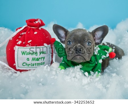 "Cute French Bulldog puppy laying in the snow next to a gift bag that says ""wishing you a Merry Christmas"", with a blue background. - stock photo"