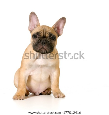 cute french bulldog puppy sitting looking at viewer - black masked fawn - stock photo