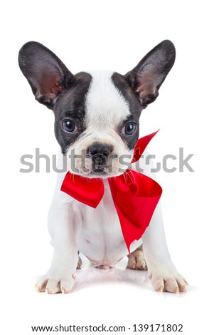 Cute french bulldog puppy with red ribbon - stock photo