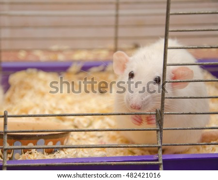 Cute frightened rat in a cage (shallow DOF, selective focus on the rat nose)