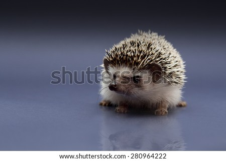 cute fun love rodent african pygmy black hedgehog baby - stock photo