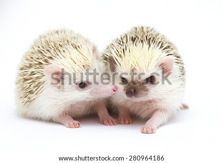 cute fun love rodent african pygmy hedgehog baby - stock photo
