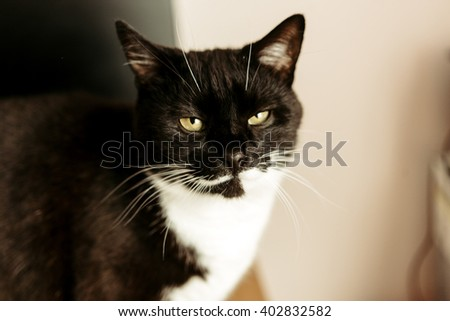 cute funny black and white cat looking with hilarious face in the morning room - stock photo