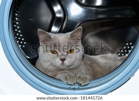 Cute funny british cat in washing machine - stock photo